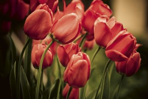 Fototapeta na flizelinie MS-5-0128 RED TULIPS